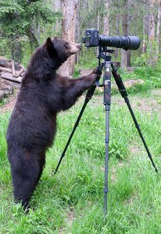 As Dean Swartz took pictures of a black bear family in he noticed one juvenile bear watching him very closely. After about 45 minutes the bear decided to have a go as well and ambled over to the tripod. Backing off, Dean used another camera on his shoulder to carry on taking pictures as the animal investigated his expensive equipment