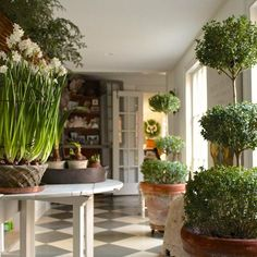 A behind the scenes moment from my Nora Murphy Country House Style Holiday Issue. Time to water everything! Happy Friday! :) #TGIF #HolidayDecor #greenthumb #gardener #paperwhites #topiaries. www.noramurphycountryhouse.com