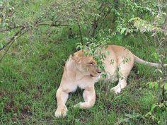 Incredible sight of a lion at the Masai Mara, Narok County, Kenya