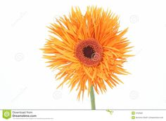 Gerber daisy Gerbera, Gerber Daisies, Peach Flowers, Pineapple, Daisy, Fruit, Plants, Pine Apple, Margarita Flower