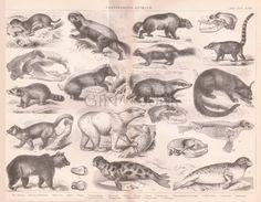 Antique animals print 1859 original vintage by LyraNebulaPrints Carnivorous Animals, Animal Skeletons, Racoon, Animal Sketches, Antique Books, Gravure, Bird Art, Polar Bear, Poster Size Prints