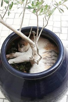 2013 Funny Cat Sleeping / Pictures / Photos / Strangest Places for a Cat Nap Animals And Pets, Funny Animals, Cute Animals, I Love Cats, Cool Cats, Animal Gato, Cat Plants, Potted Plants, Gatos Cats