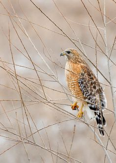 If you see a guy sitting up on top of a tree he might be a Red Shouldered Hawk Ohio Birds, All Birds, Birds Of Prey, Love Birds, Pretty Birds, Beautiful Birds, Reptiles, Picture Tree, Wild Creatures