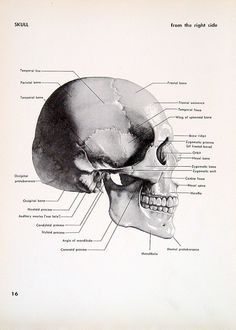 1951 2 Sided Vintage Anatomy Book Plate Skull Right Side and Back. $10.00, via Etsy.