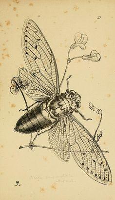 cicada scientific illustration - Google Search