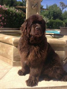 Brown Newfoundland Dog, Newfoundland Puppies, Cute Puppies, Cute Dogs, Dogs And Puppies, Doggies, Animals And Pets, Baby Animals, Cute Animals