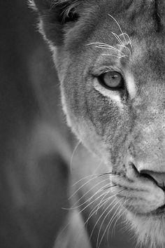 strong lioness black and white - Google Search