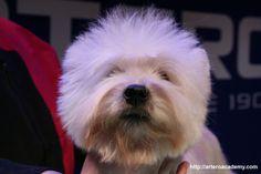 Jornadas Artero de peluquería canina. Fórmate en Artero International Academy Disponemos de centros en varias ciudades de España. +info 93 515 00 35 - web arteroacademy.com