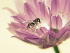 Hover Fly on a Chive Blossom by Jacki Mroczkowski on Capture Wisconsin // Hover fly visiting a chive blossom