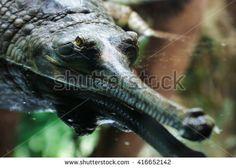 Gavialis gangeticus, Gharial, Gavial jaws detail head eyes view Crocodile, Eyes, Detail, Animals, Alligators, Crocodiles, Dragons, Animales, Animaux