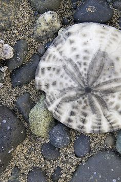 Sand Dollar; Source: http://westcoastcreative.blogspot.com/2011/05/saturday-exploring.html