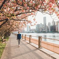 Cherry blossom season in Roosevelt Island by samalive