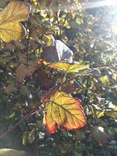 Sun on Ribes leaves MM