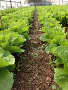 Marul (lettuce)