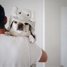 French Bulldog in an Elephant 'Baby Wrap', @piggyandpolly on instagram