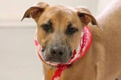NAME: Delilah  ANIMAL ID: 25282062  BREED: Retriever  SEX: female-spayed  EST. AGE: 1 yr  Est Weight: 55 lbs  Health: heartworm neg  Temperament: dog friendly, people friendly, kid friendly ADDITIONAL INFO: RESCUE PULL FEE: $49  Intake date: 3/31  Available: Now