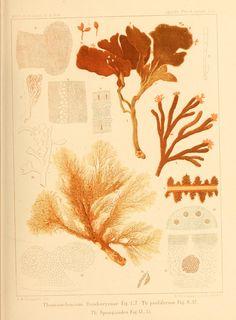 Florideernes morphologi /.  Stockholm :P.A. Norstedt,1879.  Biodiversitylibrary. Biodivlibrary. BHL. Biodiversity Heritage Library.