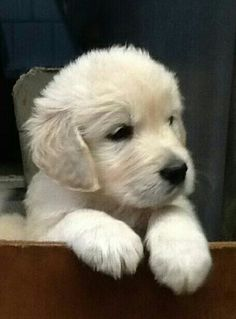..little golden retriever pup