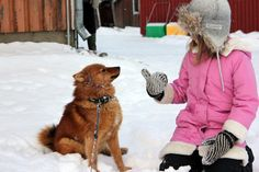 The Finnish spitz an attractive dog breed with a red coat and fox-like looks they are Finland's national dog. Spitz Dog Breeds, Spitz Dogs, Shiba Inu, Akita, Cutest Big Dog Breeds, Cute Big Dogs, Robin Hood, Girl And Dog, Country Christmas