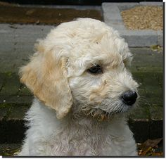 This is the kind of dog I want; a Golden Doodle. :)