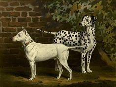 bull terrier and dalmatian
