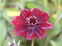 Such a beautiful velvet looking Chocolate Cosmos, delicious we all want one in our garden.  Boz's Garden | Primrose Gardens