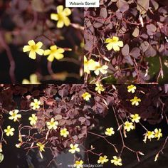 """Volcanic Sorrel Oxalis vulcanicola """"Zinfandel"""" Type: Annual Exposure: Full Sun Water: Regular  The name """"Zinfandel"""" may refer to the wine red leaves on this small but colorful annual. Attractive 3/4in (2cm) burgundy shamrocks form a clump 6in (15cm) tall but sprawling to a foot (30cm). Delicate but profuse bright yellow five-petaled flowers cover the plant in late summer to early fall in rich contrast to the purple foliage. It's frost tender which means it will die when the temperature drops…"""