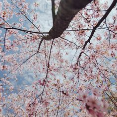 Sakura in bloom on Freedom square of Tallinn. Photo by Dmitri Korobtsov.