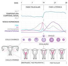Ciclo menstrual – Wikipédia, a enciclopédia livre