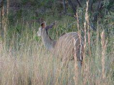 Female Kudu sighting by Africa: Live App User Edwina Ries