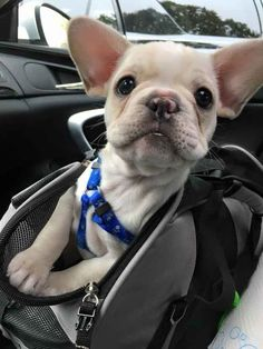 This Frenchie who hasn't quite grown into her ears yet.