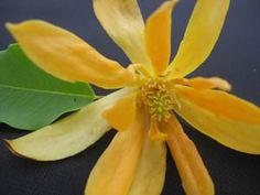 Michelia champaca for sale. Plumeria Care, Magnolia, Perfume, Joy, Garden, Flowers, Quotes, Plants, Quotations