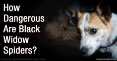 Black widow spider bites can be fatal to cats and dogs; if you suspect your pet has been bitten, seek veterinary attention immediately. http://healthypets.mercola.com/sites/healthypets/archive/2016/05/03/black-widow-spider-venom.aspx