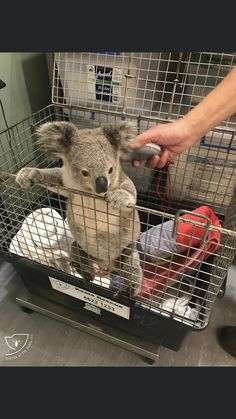 Best Picture For Cutest Baby Animals videos For Your Taste You are looking for something, and it is Baby Zoo, Koala Baby, Baby Panda Bears, Happy Animals, Cute Funny Animals, Cute Baby Animals, Animals And Pets, Wild Animals Pictures, Cute Animal Pictures
