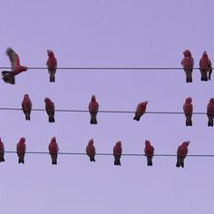 An outback town in Queensland, Australia, has been besieged by a huge flock of birds seeking respite from the drought. The town of Boulia is currently home to about 2,000 white cockatoos and pink galahs (a pink-breasted cockatoo) that have been causing power outages by knocking power lines together during takeoff.