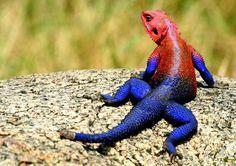 ¿Spiderman? No, Agama mwanzae (un lagarto bicolor) Estas fotografías se pueden ver diferentes ejemplares de la especie de lagarto Agama mwanzae, perteneciente a la familia Agamidae.