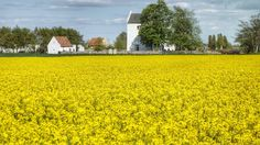 Skåne - Scania - Schonen:  Rapeseed fields in full bloom!!!! Never experienced them so early as this year!