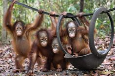 This handout picture taken and released by the Borneo Orangutan Survival Foundation (BOSF) on October 26, 2015 shows baby orangutans, which had previously suffered from respiratory problems, playing at a nursery in the rehabilitation centre operated by the BOSF on the outskirts of Palangkaraya in Central Kalimantan. ( AFP PHOTO / BORNEO ORANGUTAN SURVIVAL FOUNDATION (BOSF) / INDRAYANA)