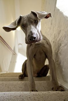 bigfranklittlebeans:  3/12 big boy & wee ma by dohlongma on Flickr.  epiphany  Weimaraner puppy