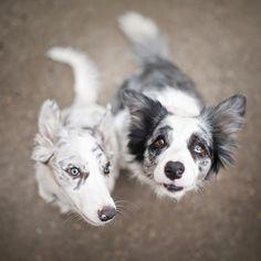 Dogs : slate and blue merle border collies Border Collie Colors, Border Collie Blue Merle, West Highland Terrier, I Love Dogs, Cute Dogs, Australian Shepherds, Scottish Terrier, Herding Dogs, Collie Dog