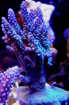 Show off your Rarest/Most Colorful SPS corals - Page 5 Sps Coral, Aquarium Design, Saltwater Tank, Salt And Water, Marine Life, Fish Tank, Bonsai, Sea, Color