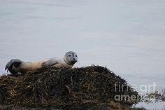 Harbor Seal Pup Perched on a Rock by DejaVu Designs