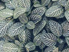 Fittonia / Plantbutler
