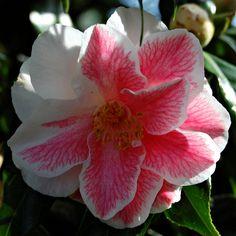 "Camellia japonica, ""Lady Vansittart"""