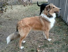 OTSC: Old Time Scotch Collie. Looks more like a pet quality vs. show quality by today's standards. Nothing wrong with that. Definitely less coat, and broader muzzle.