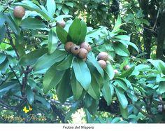 El níspero es una de las frutas tradicionales dominicanas.