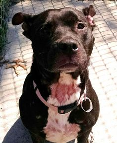 """LUCY """"20 Lucy"""" - URGENT - Stark County Dog Warden in Canyon, Ohio - ADOPT OR FOSTER - Young Female Pit Bull Mix - Available September 13, 3016 - Lucy is a sweetheart, she is a bit shy, but wants to be close to someone. She looks as if she had a litter of pups recently, she has skin irritation on her chest, and neck area. Lucy has such a sad look at times, those eyes just melt your heart."""