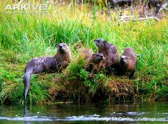 North American otter family lounging on a riverbank.