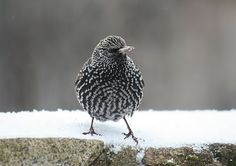 baby European starling