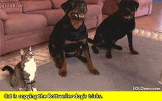 Didga, the cat who has two Rottweiler dog friends, they can also do some rolling tricks together. That's right, this cat rolls like dogs. see more: petsfans